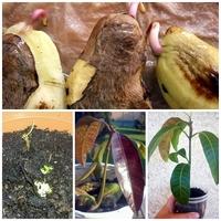 A mangó gondozása otthon