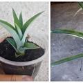 Hogyan neveljünk otthon ananászt?