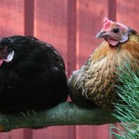 Csirkék albérletben