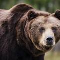 Festőművész finn medve