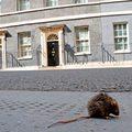 Egymást eszik az agresszív patkányok