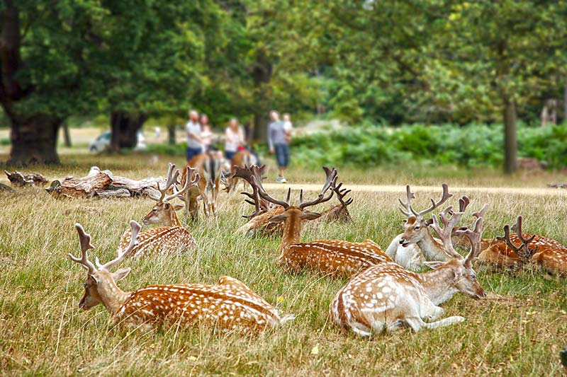 richmond-park-fallow-deer-in-richmond-park.jpg
