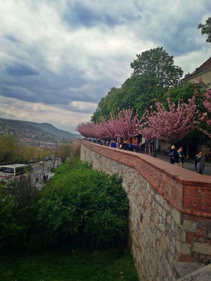 Az északi fal és a virágzó fák