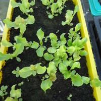 5+1 tipp a saláta sikeres neveléséhez