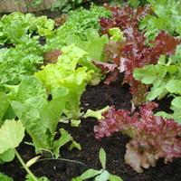 Saláta a kiskertben