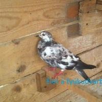 Galamb, a röpképtelen madár
