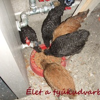 Márton napi csirkéim- több, mint két hónaposan