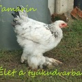 Tamarin halála