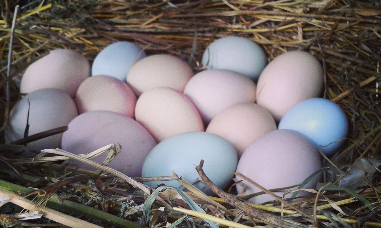 Ascaris tojások és lárvák., Ahol az ascaris tojást rak