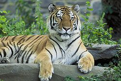 250px-Siberian_tiger_hanging_at_bar.jpg