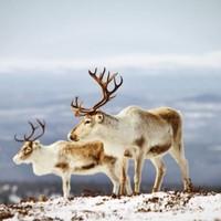 Mégis piros Rudolf orra