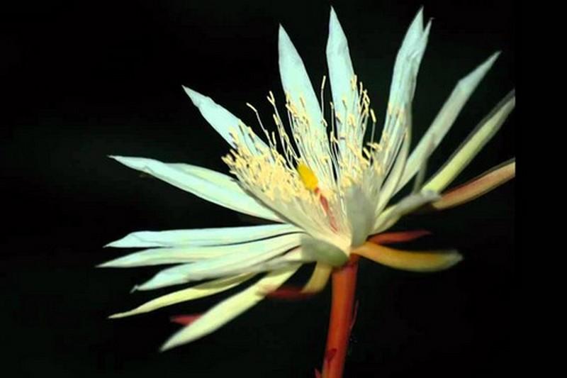 kadupul-flower.jpg