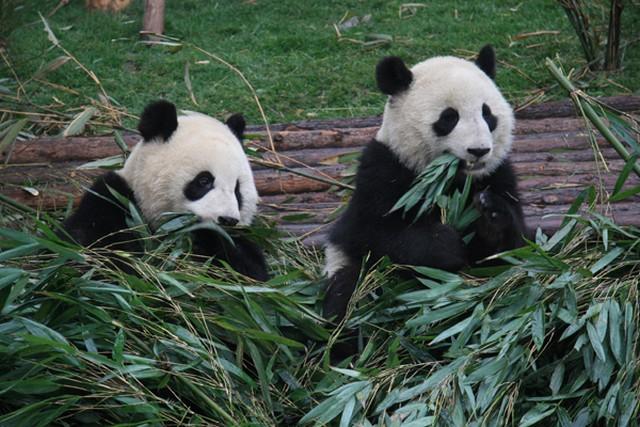 pandák.jpg