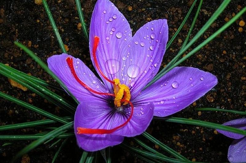 saffron-crocus.jpg
