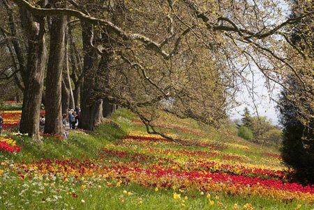 tulipánerdő