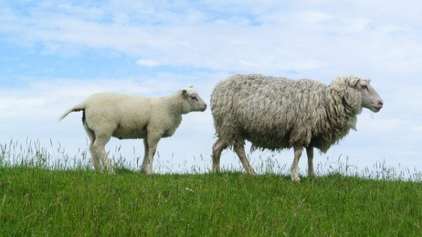 sheep-966751_640