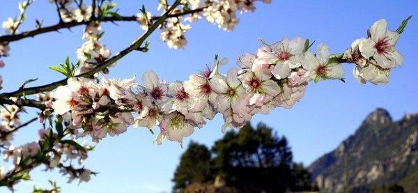 almond-flowers-1188499_640