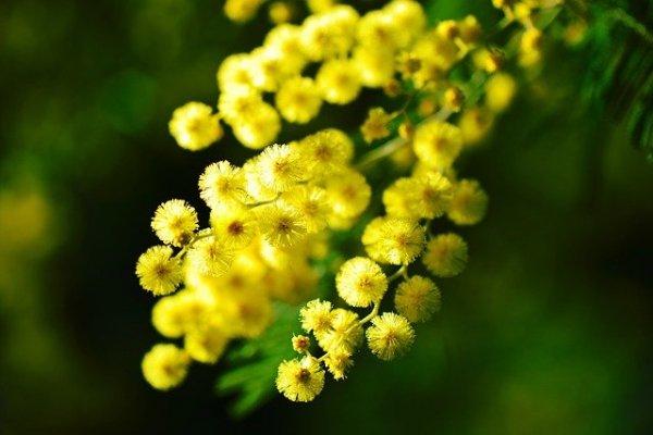 mimosa-274206_640