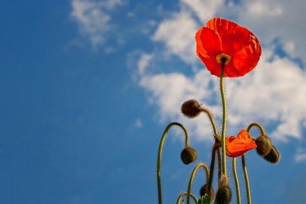 poppy-641423_640