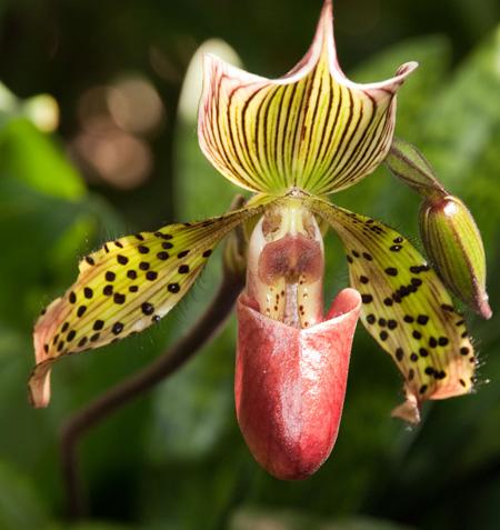 orchidea ffi.jpg