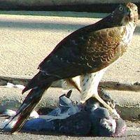 Megdöglesz magyar - 1: Héják és galambok
