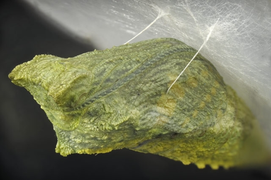 Entry_19685_Swallowtail-pupa-suspended.jpg