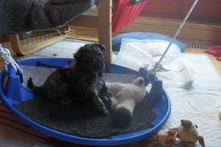 Újabb kitérő - a kiskutya kiválasztása a tenyésztő szemszögéből, avagy ismét a kölyöktesztek a fókuszban