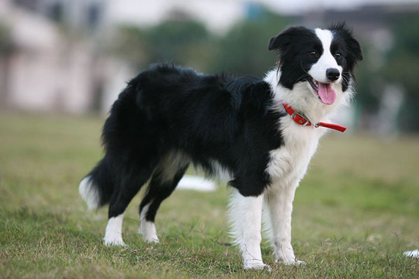 border-collie-8.jpg