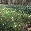 Káprázatos tőzikés erdők a Nyugat-Dunántúlon