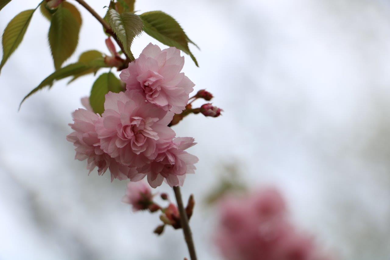 szarvas_arboretum_japan_diszcseresznye.jpg