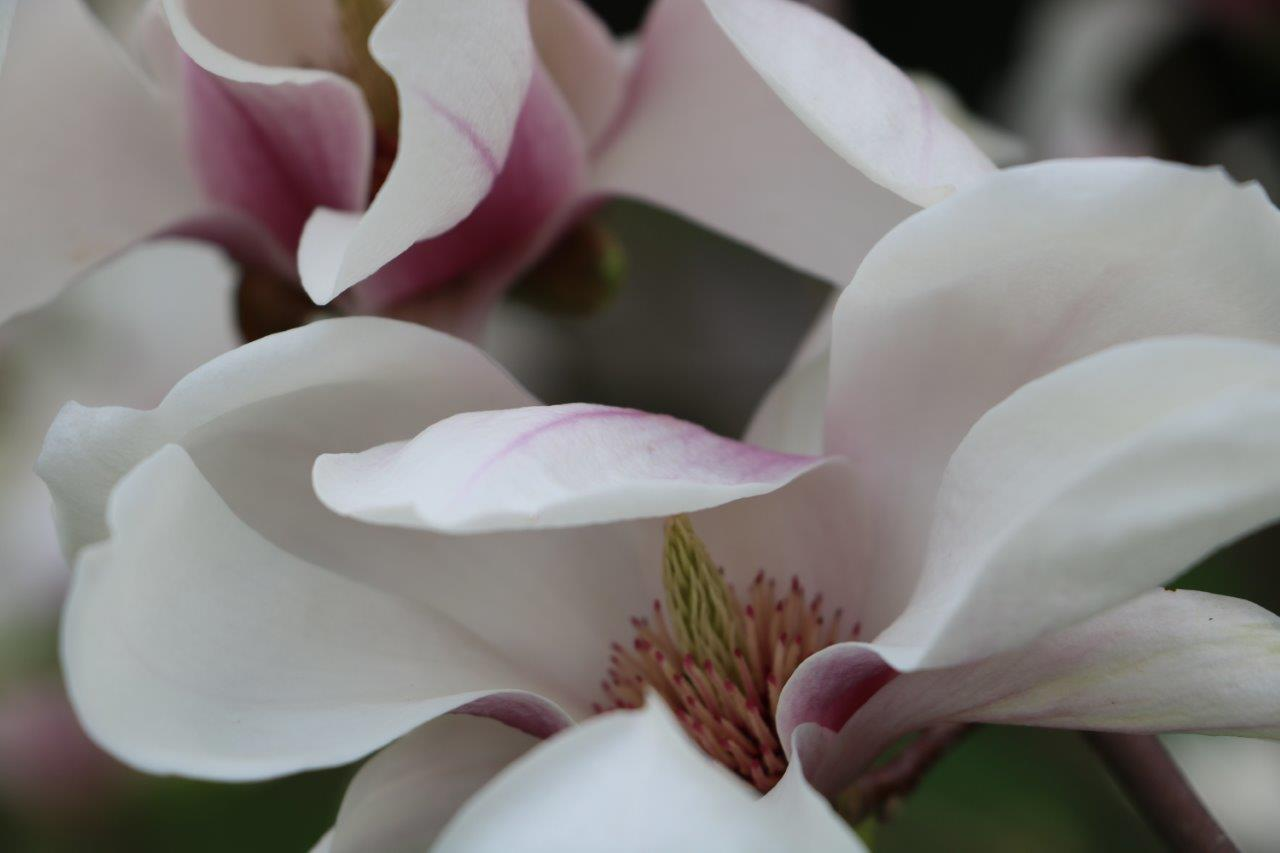 szarvas_arboretum_kerti_liliomfa.jpg