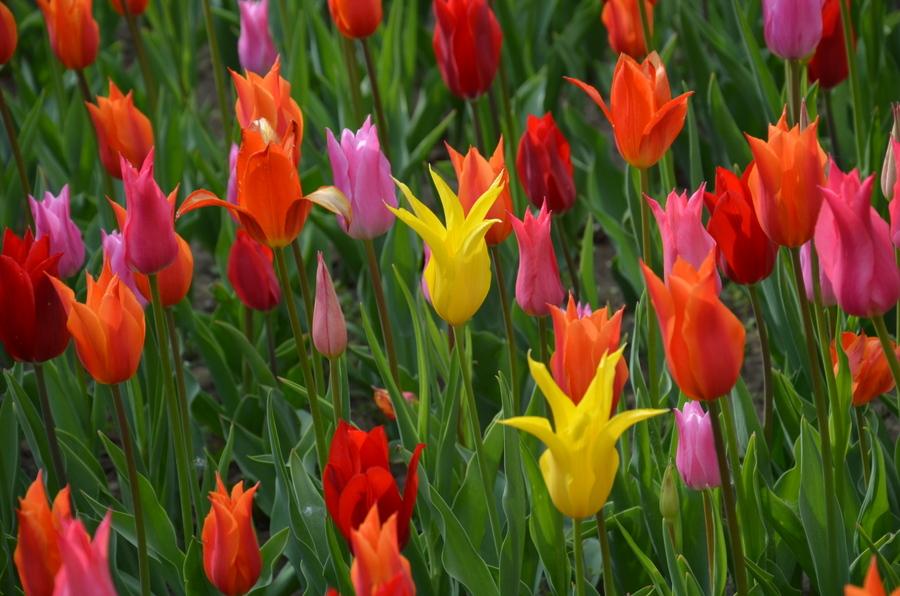 nemzeti_botanikuskert_vacratot_tulipanok_tulipanviragzas-fokep.jpg