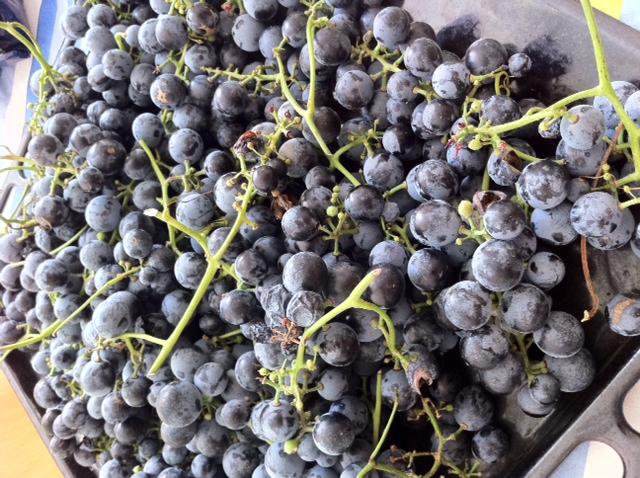 szőlő.JPG
