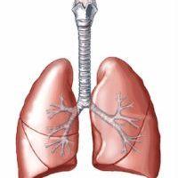 A légzőrendszer anatómiája és működése