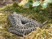 A hazai mérges kígyókról