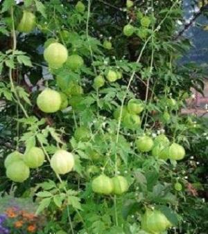 Rovarcsípések kezelése gyógynövényekkel