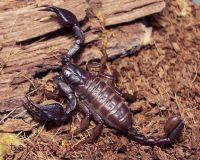 Európa skorpiói
