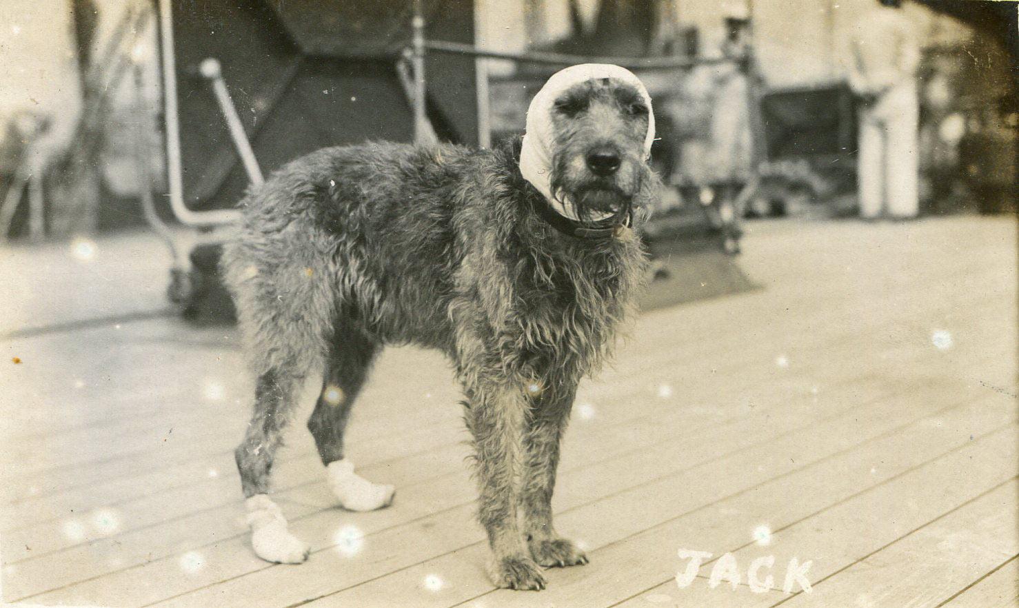 1a-vice-admiral-evan-thomass-dog-jack-wounded-at-battle-of-jutland-31st-may-1916-on-board-hms-barham.jpg