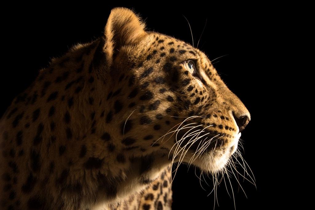 perzsa_leopard.jpg