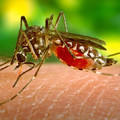 Akkora a hőség, hogy le kellett állítani a légi szúnyogirtást