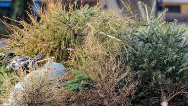 Indul a fenyőfabegyűjtés - ekkor viszik el a kidobott karácsonyfákat