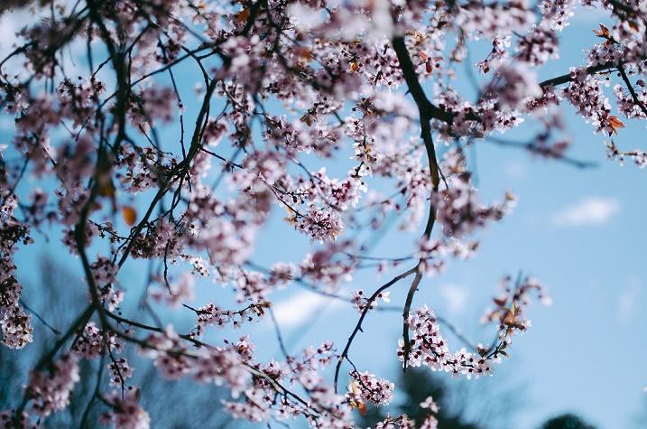 cseresznyefa.jpg