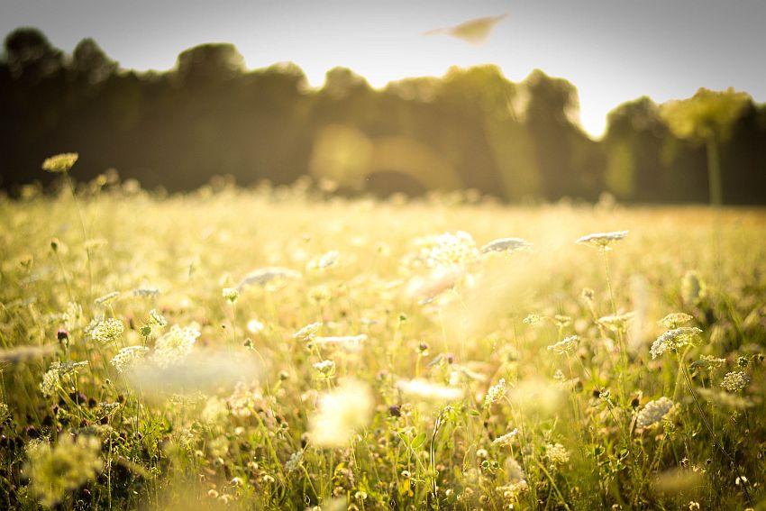 meadow-field-grass-grass-plants-flowers-white-field-forest-summer-sun-light-warmth.jpg