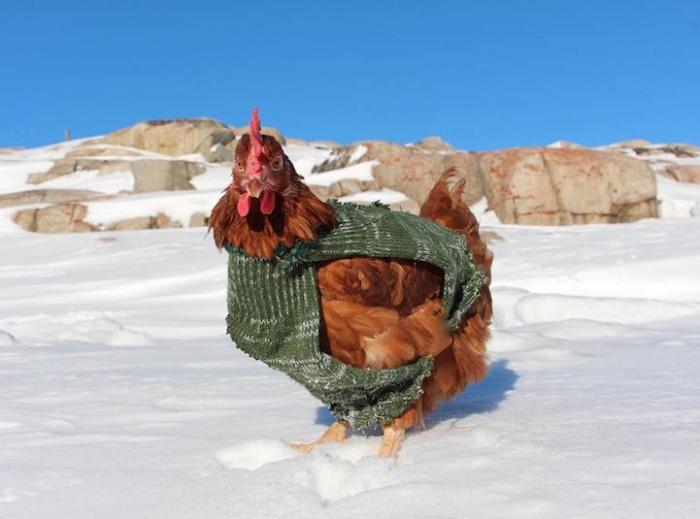 chicken_11.jpg