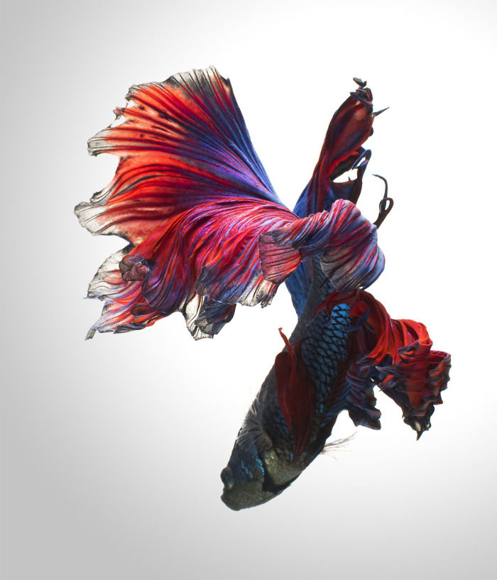 the-elegant-and-fantastic-poses-of-aquarium-fish-captured-by-a-thai-photographer-5b70919323dca_700.jpg