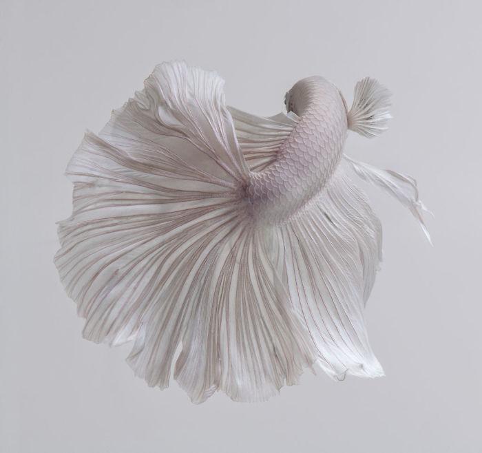 the-elegant-and-fantastic-poses-of-aquarium-fish-captured-by-a-thai-photographer-5b7091bcba396_700.jpg