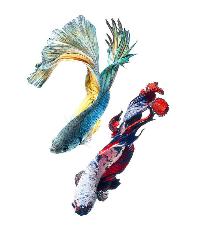 the-elegant-and-fantastic-poses-of-aquarium-fish-captured-by-a-thai-photographer-5b713a0ca3133_700.jpg