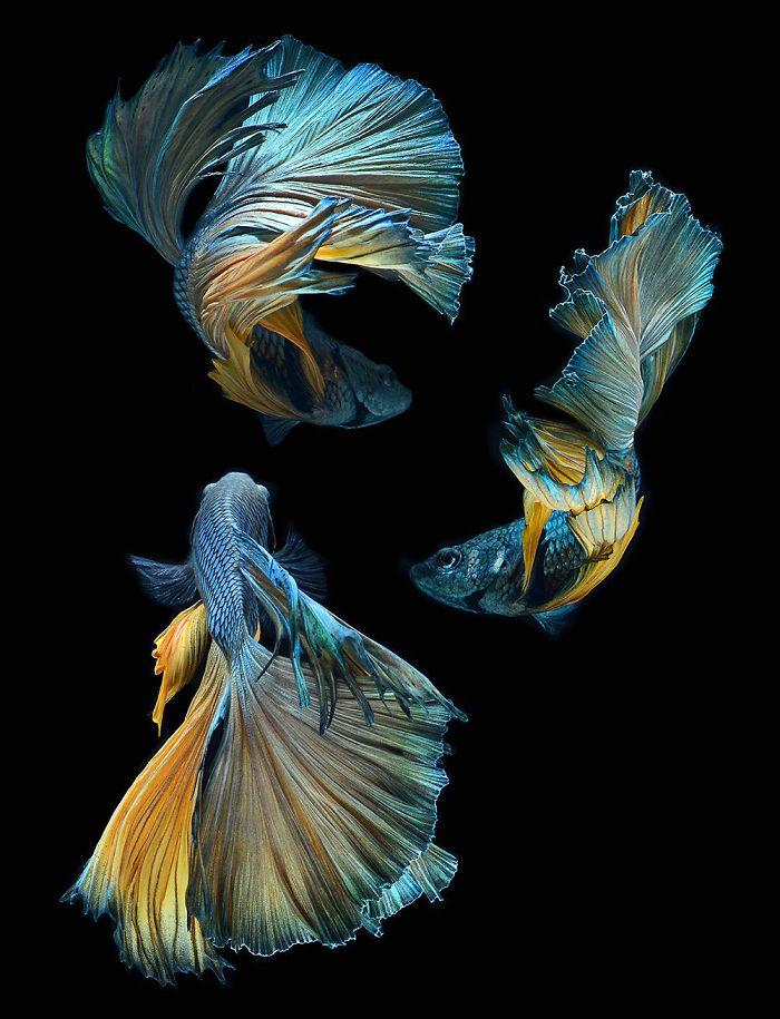 the-elegant-and-fantastic-poses-of-aquarium-fish-captured-by-a-thai-photographer-5b713a14e7e5b_700.jpg