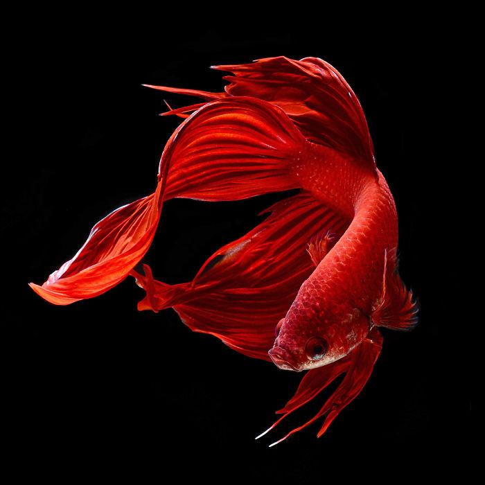 the-elegant-and-fantastic-poses-of-aquarium-fish-captured-by-a-thai-photographer-5b713a1b2096d_700.jpg