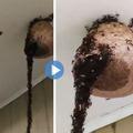 Zseniális felvétel a csapatmunkáról: egy darázsfészek bánta az élelmes vándorhangyák akcióját